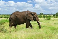 Elefante africano no savana Foto de Stock
