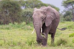 Elefante africano no Serengeti fotografia de stock royalty free