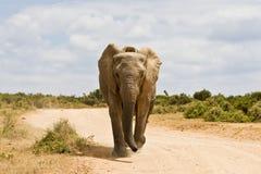 Elefante africano novo que corre abaixo de uma estrada do cascalho fotografia de stock royalty free