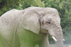 Elefante africano o più grande animale di terra di loxodonta africana nel mondo Fotografia Stock Libera da Diritti