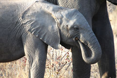 Elefante africano pequeno do bebê que anda ao longo do savana Fotografia de Stock
