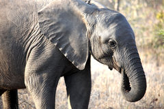 Elefante africano pequeno do bebê que anda ao longo do savana Fotos de Stock Royalty Free