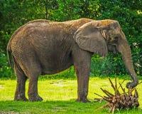 Elefante africano - perfil Fotos de archivo