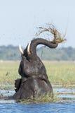 Elefante africano que alimenta, rio de Chobe, Botswana Imagens de Stock