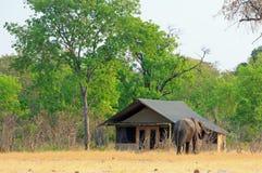 Elefante africano que anda ao lado de um alojamento cobrido com sapê no parque nacional de Hwange, Zimbabwe fotografia de stock royalty free
