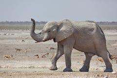 Elefante africano que anda com tronco acima Fotos de Stock