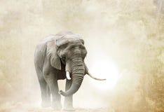 Elefante africano que anda no deserto Fotos de Stock
