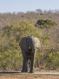 Elefante africano que bebe en el riverbank, parque del arbusto del kruger fotos de archivo