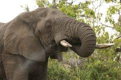 Elefante africano que bebe, Suráfrica Fotografía de archivo libre de regalías
