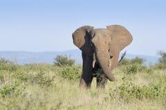 Elefante africano que come de arbustos en prado Fotografía de archivo libre de regalías