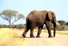 Elefante africano que cruza a estrada do parque nacional de Kruger Foto de Stock