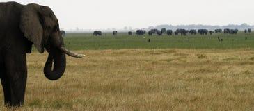 Elefante africano Safari Scene Immagine Stock Libera da Diritti