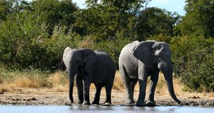 Elefante africano salvaje en Botswana, África almacen de video