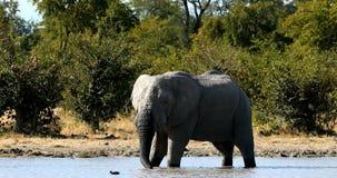 Elefante africano salvaje en Botswana, África metrajes