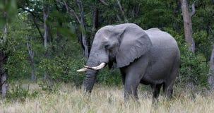 Elefante africano salvaje en Botswana almacen de video