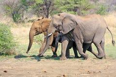 Elefante africano selvagem Foto de Stock Royalty Free