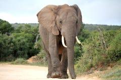 Elefante africano na estrada fotografia de stock royalty free