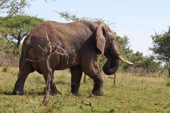 Elefante africano selvaggio in Tanzania Fotografie Stock Libere da Diritti