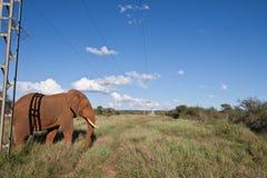 Elefante africano sob linhas eléctricas fotografia de stock