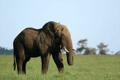 Elefante africano, Tanzania, África imagen de archivo libre de regalías