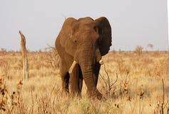 Elefante africano viejo Bull Imágenes de archivo libres de regalías