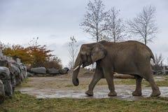 Elefante africano visto nel profilo che cammina nella recinzione fangosa dello zoo fotografia stock