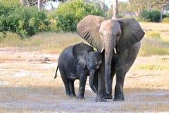 Elefante africano, Zimbabwe, parque nacional de Hwange Imagem de Stock