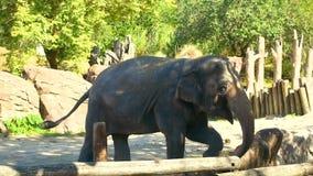 Elefante agradable que rueda su tronco en los jardines de Busch metrajes