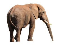 Elefante aislado en blanco Imagenes de archivo