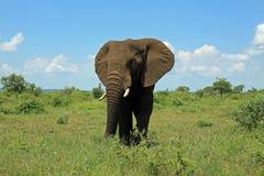 Elefante al parco nazionale Sudafrica di Kruger Immagine Stock Libera da Diritti