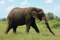 Elefante al parco nazionale Sudafrica di Kruger Immagine Stock
