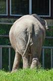 Elefante allo zoo Fotografia Stock
