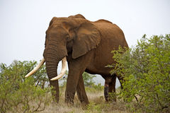 Elefante alto Fotografia Stock
