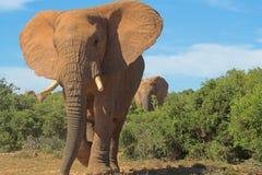 Elefante ambulante Fotografie Stock
