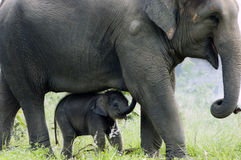 Elefante: amore del bambino e della madre Fotografia Stock