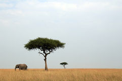 Elefante & acacia Immagini Stock