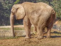 Elefante. Animais africa zoo royalty free stock image