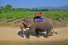 Elefante apacible grande en un viñedo tropical en Tailandia
