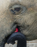 Elefante - Apple um o dia mantem o veterinário ausente Foto de Stock Royalty Free