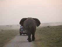 Elefante arrabbiato che insegue automobile Fotografia Stock Libera da Diritti
