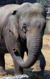 Elefante asiático Foto de archivo libre de regalías