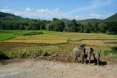 Elefante asiático. Foto de Stock