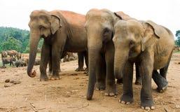 Elefante asiático Imagen de archivo libre de regalías