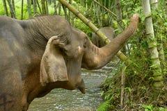 Elefante asiático Fotos de archivo libres de regalías