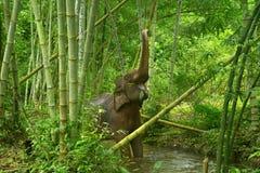 Elefante asiático Fotografía de archivo libre de regalías