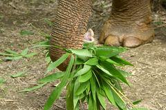 Elefante asiático Fotos de archivo