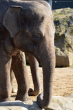 Elefante asiático Fotografía de archivo