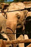 Elefante asiático atrás de uma cerca de segurança fotografia de stock