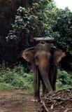 Elefante asiático com sela Fotos de Stock
