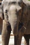 Elefante asiático con el toothpick foto de archivo